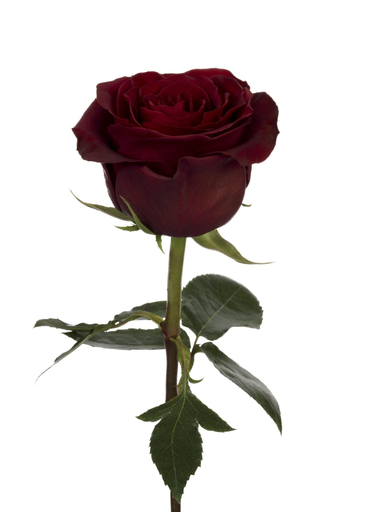 Meaning Of Roses Colors: RP BLACK PEARL