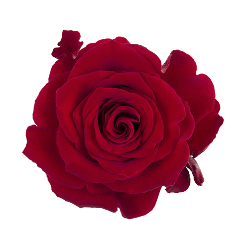 Fortune Rosaprima Rose for Extraordinary Love Stories