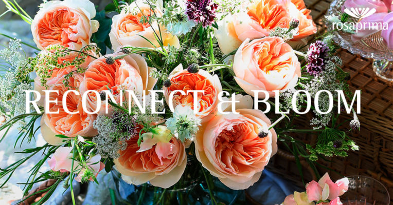 Reconnect & Bloom rosaprima rose stories blog