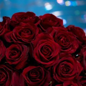 RP Black Pearl Rose Rosaprima variety for National Red Rose Day